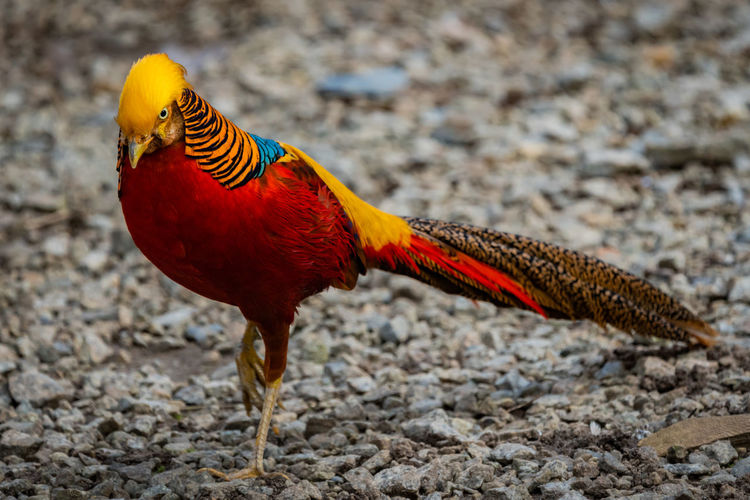 Golden pheasant Red Animal Animal Themes Bird Close-up Day Focus On Foreground Golden Pheasant Multi Colored No People One Animal Outdoors Yellow