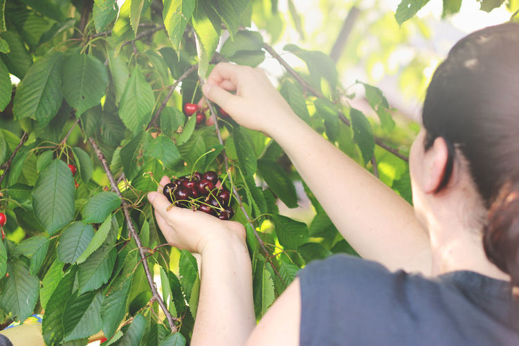 Close-Up Of Woman Picking Cherries