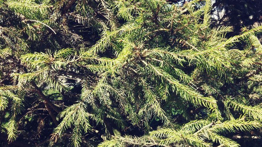 Pine Pine Trees Trees Leaf Daylight Natural Beauty Mae Salong Mountain Chiang Rai Thailand