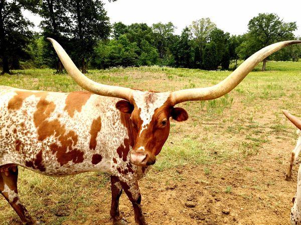 Longhorn Texas Texas Made Portrait Impressive Horns Cedar Creek Lake Malakoff