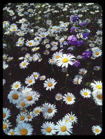 Flowers Nature_collection Landscape_collection EyeEmNatureLover Daisies Grandpasgarden