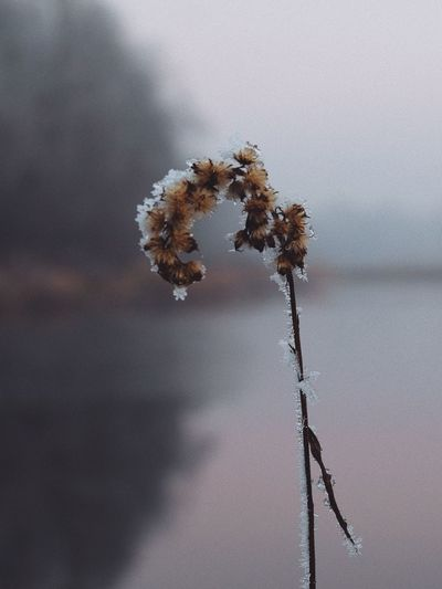 Nature Focus On Foreground Growth Close-up Fragility No People Cold Temperature Plant Winter Beauty In Nature Tranquility Snow Day Pussy Willow Outdoors Wilted Plant Dried Plant Cotton Plant EyeEm Best Shots Vscocam
