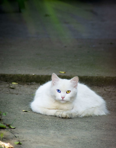Portrait of white cat on footpath