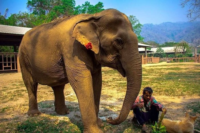 Thai elephant santuary Elephant Indian Elephant One Animal Animal Full Length Outdoors Animal Themes Adults Only Mammal Nature Adult People Day