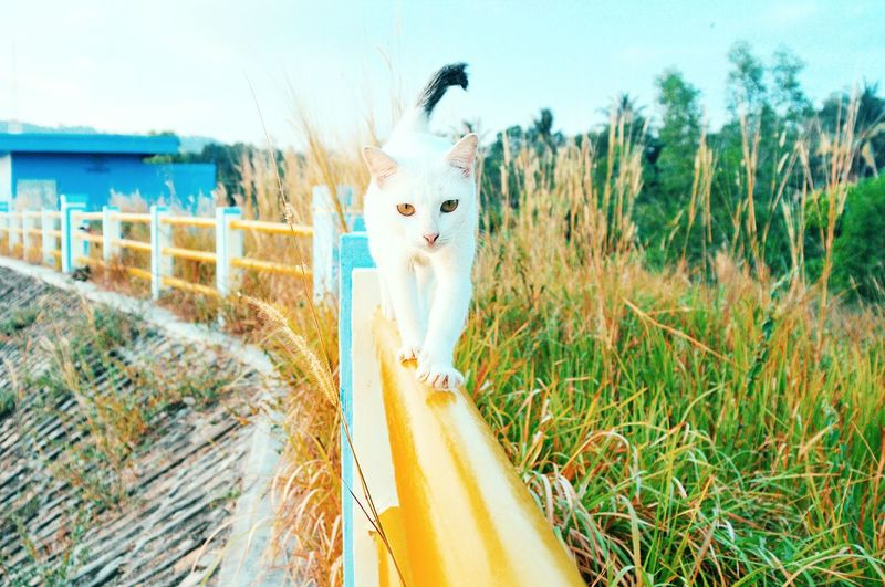 Kucing Putih Cats Of EyeEm White Cat Cat Lovers EyeEm Selects EyeEmNewHere Art No People Day Outdoors Grass Nature Sky Animal Themes One Animal Pets Domestic Animals Mammal Looking At Camera Feline Close-up Portrait