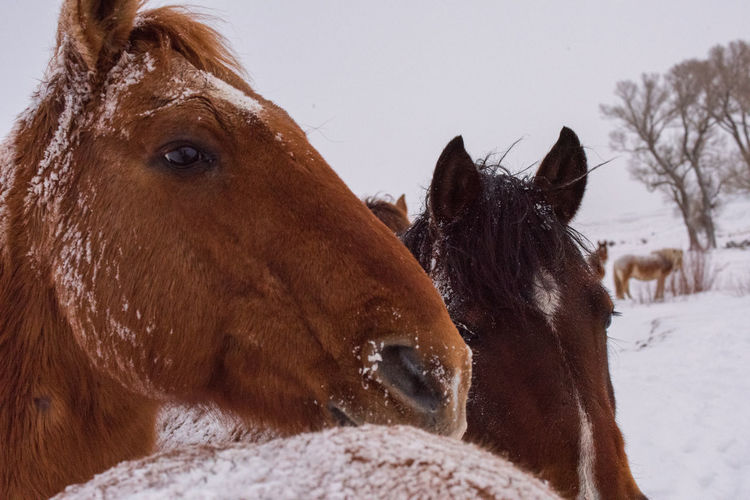 Feb 2019 - Horse Heads Mammal Animal Domestic Animals Snow Animal Themes Livestock Domestic Brown Vertebrate Group Of Animals Cold Temperature Winter Two Animals No People Herbivorous Animal Head  Snow Covered