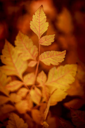 Autumn Autumn Colors Autumn Leaves Backgrounds Beautiful Beauty In Nature Cloesup Close-up Day Flower Focus On Foreground Foreground Focus Leaf Maple Maple Leaf Nature No People Outdoors Photography Plant Tree