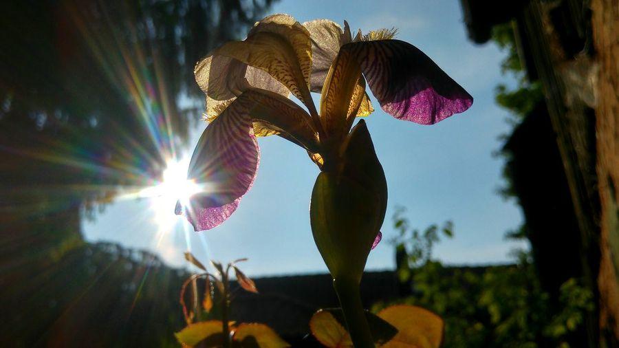 Iris Iris Flower Sunflare Sun Flare Schwertlilie Lis