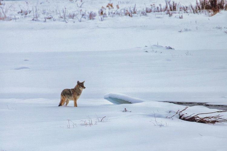 Lone coyote in snow covered field in yellowstone national park