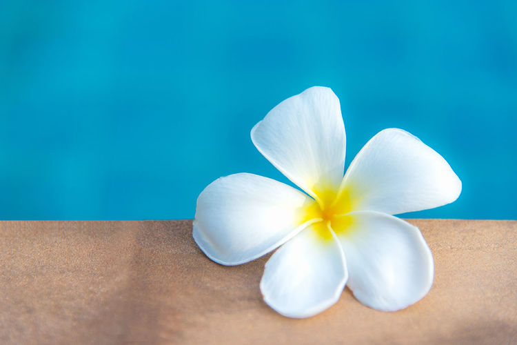 Close-up of white flower on blue table