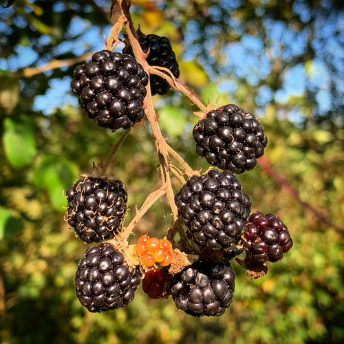 Food Berry
