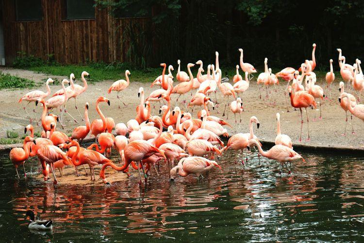 Flock Birds_collection Birds Birds🐦⛅ Flamingos In Water Flamingo Flamingo At The Zoo Lakeshore Reflection Reflections In The Water Reflection_collection Reflection Lake Flamingo Bird Water Colony Pink Color Flock Of Birds Wading Beak Water Bird Analogue Sound