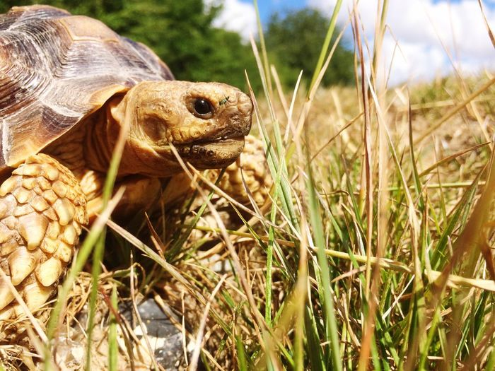 Sulcata Turtle Baby Giant Turtle Turtle Animal Themes Animal Wildlife Animal Animals In The Wild One Animal Plant Reptile Close-up Field Vertebrate Nature Outdoors Focus On Foreground Animal Body Part Day No People Sunlight Grass Land Growth