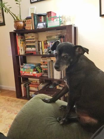 Arbella sitting on the arm of the sofa. Sam's early Christmas present from Damon--an ant 🐜 farm--can be seen on the top of the bookshelves. Christmas Dogs