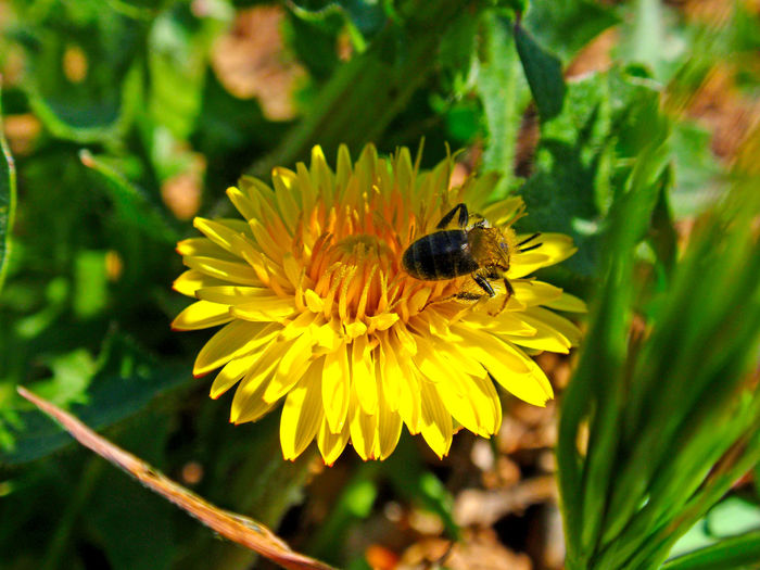 Animal Themes Animals In The Wild Apis Apis Mellifera Beauty In Nature Bee Blooming Close-up Dandelion Day European Bee Flower Flower Head Fragility Freshness Insect Nature One Animal Petal Plant Pollination Taraxacum Taraxacum Officinale Yellow
