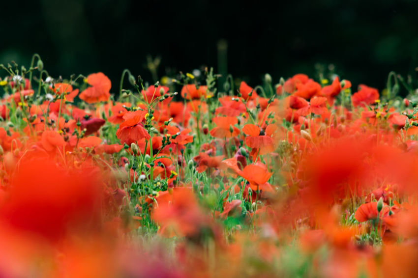 Poppies in a field. Field Field Of Flowers Fields Fieldscape Flower Flower Collection Flowers Nature Poppies  Poppies Field Poppies In Bloom Poppy Poppy Field Poppy Fields Poppy Flower Poppy Flowers Red Red Flower Red Flowers Beauty In Nature Plant No People Blooming Outdoors Poppies