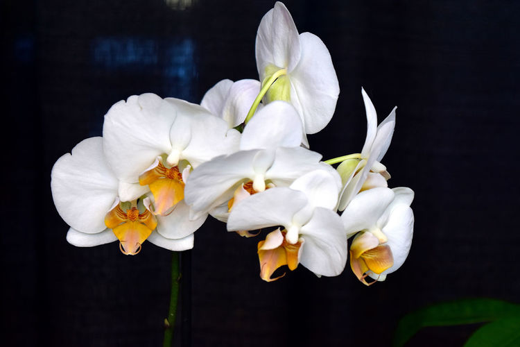 close-up of white flowers Beauty In Nature Close-up Day Flower Flower Head Fragility Freshness Nature No People Petal Phalenopsis Plant Spray Of White Flowers White Color