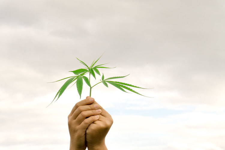 Beauty In Nature Close-up Day Fragility Freshness Green Color Growth Holding Human Body Part Human Finger Human Hand Leaf Marijuana Nature One Person Outdoors Plant Real People Sky