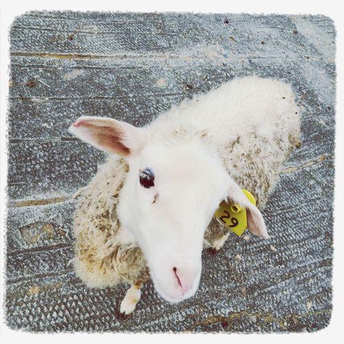 仔羊 Animals