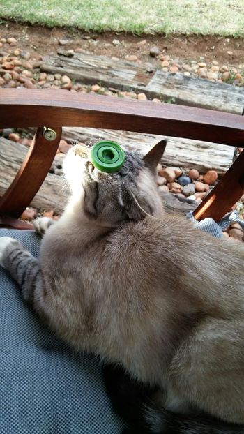 Catoftheday Concentration Sunshine Ragdoll
