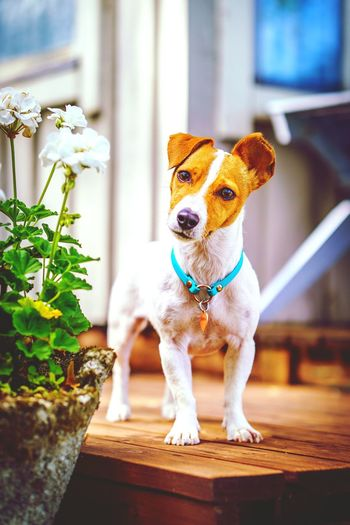 Portrait of tsunami the jack russell terrier dog standing on wooden deck near white geranium flower