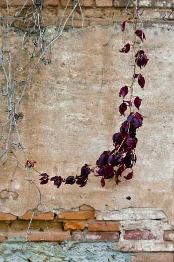 Close-up of dry ivy on wall