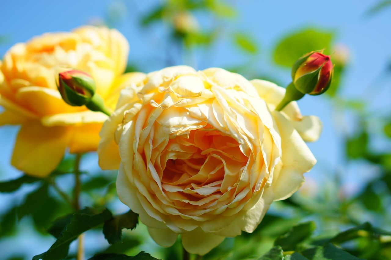 Close-Up Of Yellow Rose Blooming In Park