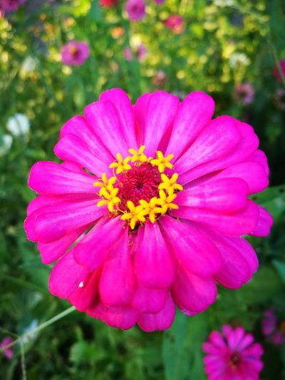 Flower Petal Fragility Flower Head Beauty In Nature Freshness Pollen Focus On Foreground Blooming Nature Zinnia  Close-up Pink Color Outdoors No People Day First Eyem Photo Millennial Pink