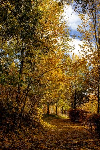 Autumn Colour Tree Plant Autumn Nature Beauty In Nature Tranquility Land No People Growth Tranquil Scene Scenics - Nature Outdoors Sunlight Change Branch Forest Idyllic Non-urban Scene Day Yellow