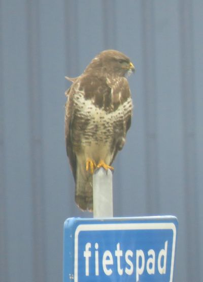 Buizerd Animal Wildlife Animal Themes Bird One Animal Animals In The Wild No People Day Perching Close-up Outdoors Nature Fietspad Nature Photography Canon Sx60