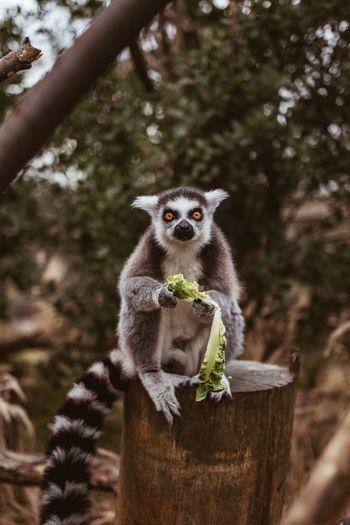 Portrait of lemur eating lettuce on tree
