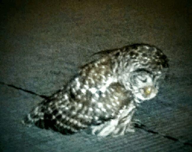 Kellies Owl