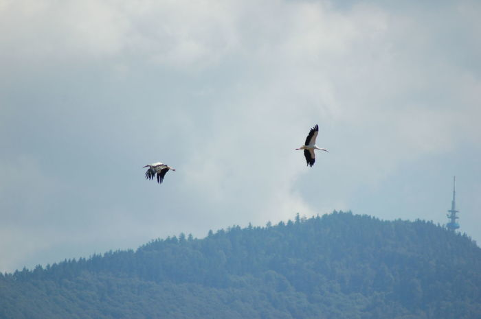 Animal Behavior Animal Themes Animals In The Wild Beauty In Nature Bird Cloud - Sky Day Flight Flying Low Angle View Mid-air Mountain Nature No People Non-urban Scene Outdoors Scenics Sky Spread Wings Storck Störche Tranquil Scene Tranquility Wildlife Zoology