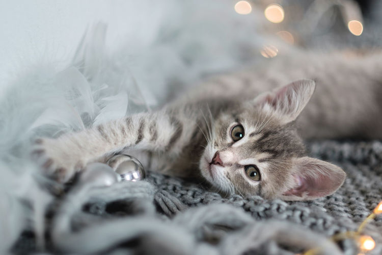 Cute gray kitten lies on the bed and looking at the camera, the background of the bokeh of Christmas lights Cat Domestic Cat Domestic Pets Animal Domestic Animals Feline Mammal Animal Themes One Animal Selective Focus Vertebrate Portrait Looking At Camera No People Indoors  Relaxation Close-up Lying Down Kitten Whisker Animal Head