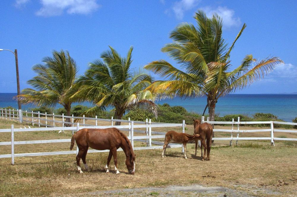 Horses tropics caribbean Horse Outdoors Caribbean Sea