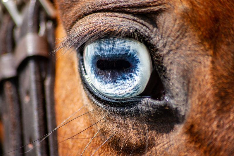 A blue horses