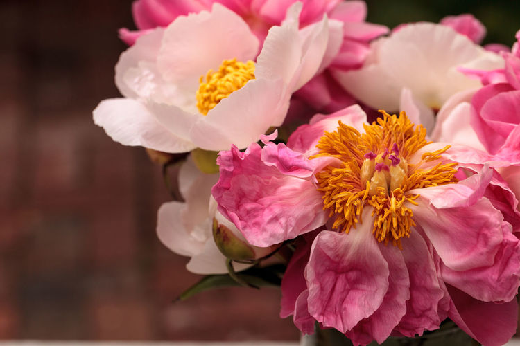 White and pink peony flower Paeonia bouquet in a vase in spring Bloom Blossom Botanical Bouquet Bouquet Of Flowers Country Flora Garden Paeonia Peony  Peony Flower Petals Pink Flower Pink Peonies Pink Peony Spring White Flower White Peonies White Peony