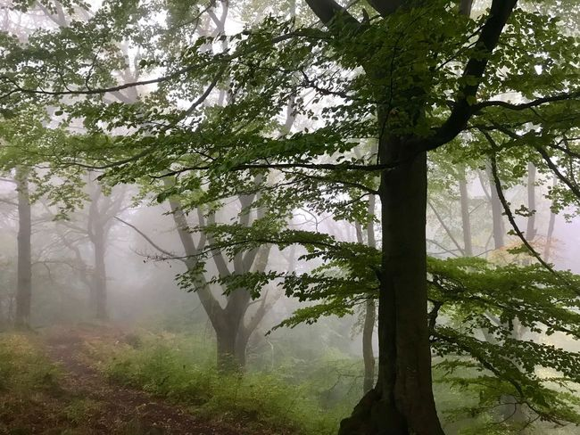 Walks In The Woods Clydach Gorge Beech Forest Beech Tree Misty Morning Woodlands