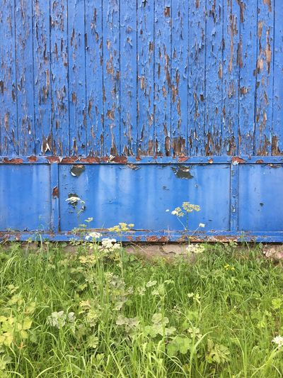 Weathering Blue in Green Blue Grass Day No People Growth Outdoors Green Color Wood - Material Plant Close-up Nature Damaged AtelierArgos IPhoneography Abandoned Architecture Wood Grain Cracked Run-down Backgrounds Rough Paint Old-fashioned Weathered Textured