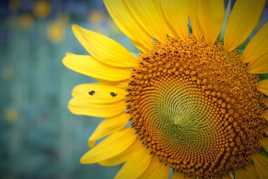 Flower Yellow Nature Close-up Insect Petal Plant Beauty In Nature Flower Head Macro Sunflower Freshness Pollen Fragility Outdoors Animal Themes Growth Dayดอกทานตะวัน.🌻🌻 No People Seed