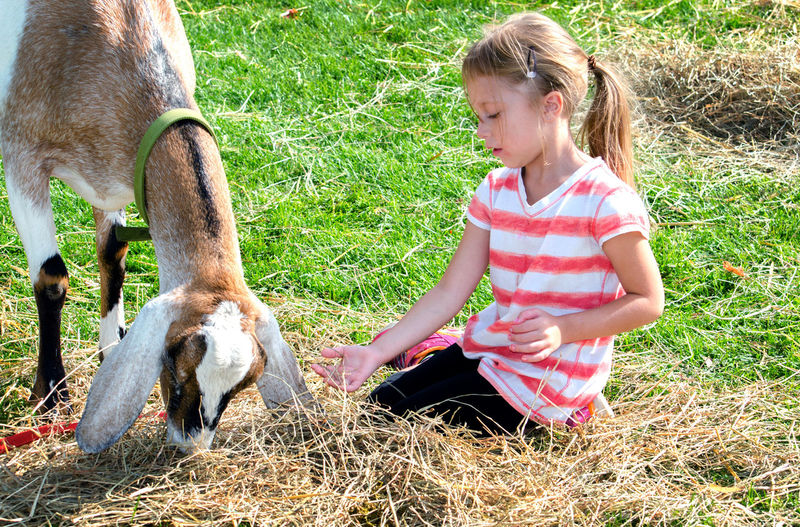 young girl sits with a pet goat at a petting zoo Mammal Domestic Girls Domestic Animals Pets Vertebrate Real People Childhood One Animal Child Livestock Females Lifestyles Eating Land Feeding  Innocence Herbivorous Outdoors Petting Zoo Hay Eating Bonding