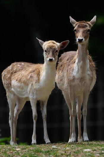 Damwild Deer