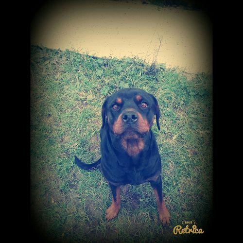 Deadly Beautiful Shila Rottweiler Dog ı Love My Dogs My Love❤