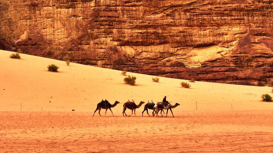 Camels Walking At Desert