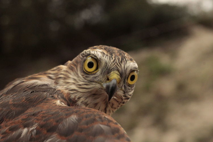 Close-up portrait of hawk