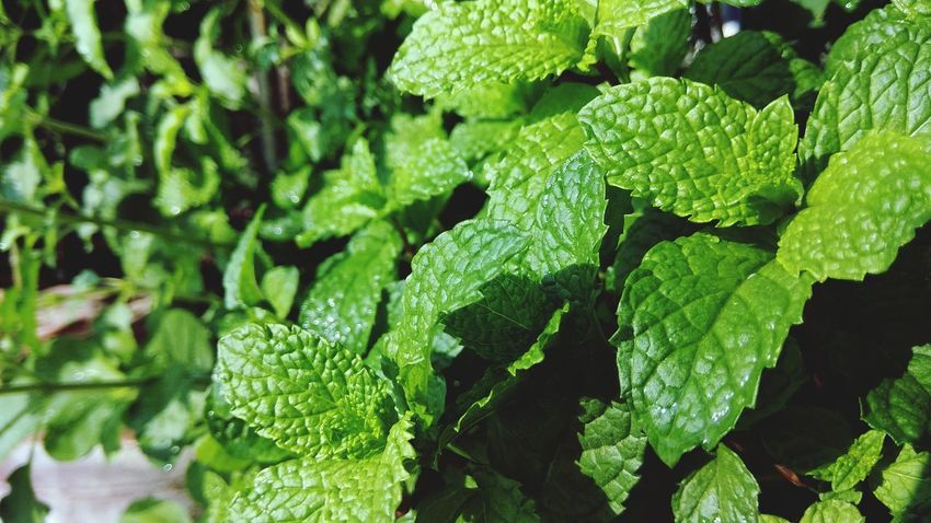 refreshing mint Green Color Leaf Plant Close-up Nature Food And Drink Outdoors Freshness Growth No People Beauty In Nature Plant Part Food Day Full Frame EyeEm Ready   EyeEmNewHere