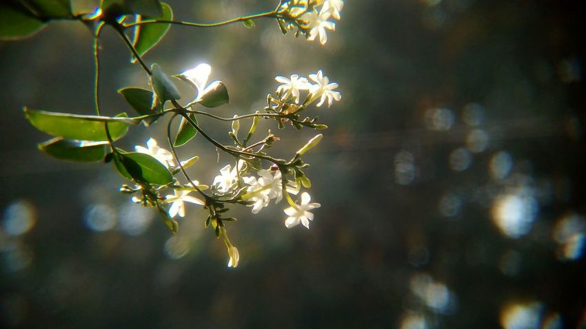 Jasmine flowers in the early light.. India Sunlight Macro Jasmine Jasmine Flower Jasmine Collection Bokeh White Flowers Tree Branch Nature Outdoors No People Growth Day Beauty In Nature Flower Fragility Close-up Beauty Leaf Freshness Sky Shades Of Winter