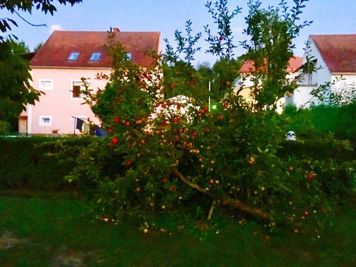 Apple Tree My