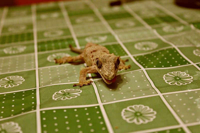 геккон бананоед Джимми Lizard