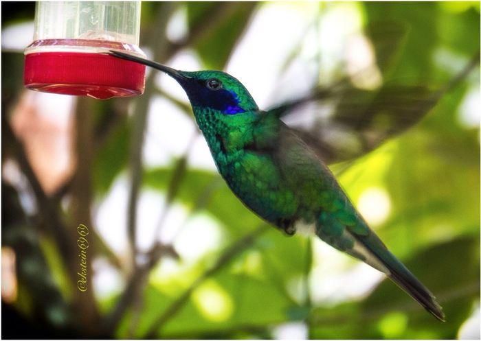 Thirsty hummingbird.... Macroclique EyeEm Best Shots - Nature Birds